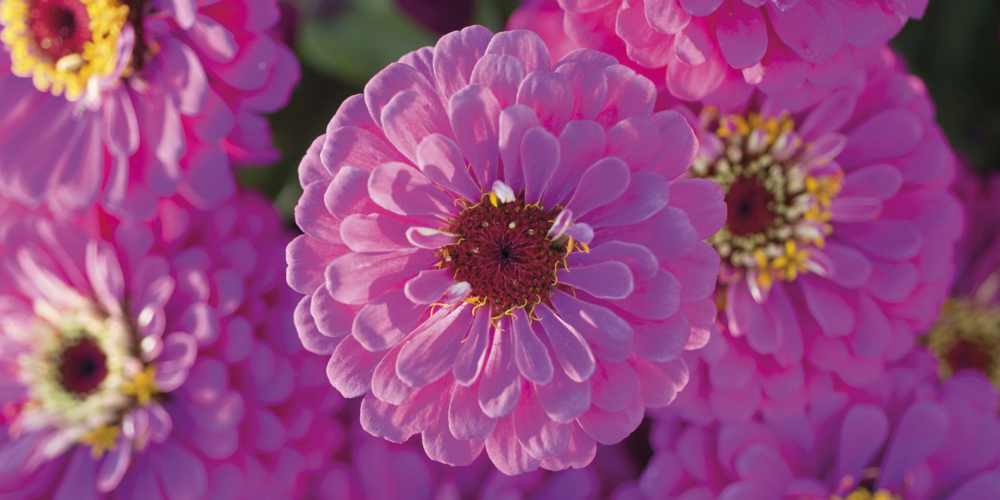 Flores: la Zinnia o Flor de Papel