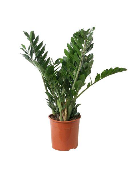 palmera zamioculcas zamiifolia de 60 centímetros