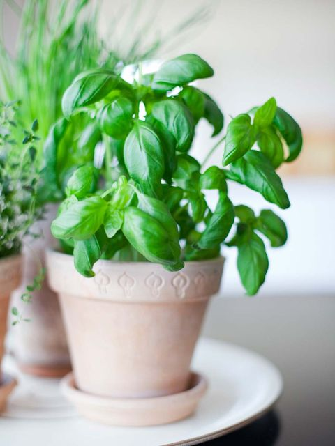 Flowerpot, Flower, Plant, Basil, Leaf, Houseplant, Herb, Vegetable, Ocimum, Lemon basil,