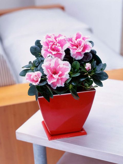 Flower, Flowering plant, Flowerpot, Plant, Pink, Houseplant, Azalea, Petal, Shrub, Artificial flower,