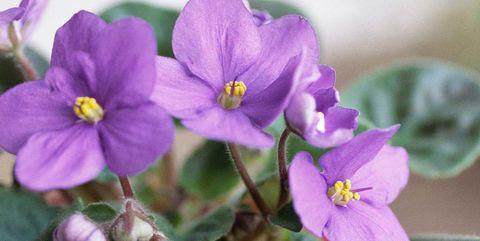 Flower, Flowering plant, Petal, Violet, Plant, Viola, Violet family, spiderwort, Dayflower family, african violets,