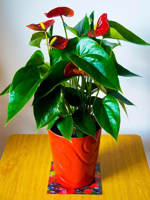 Flower, Plant, Flowerpot, Houseplant, Anthurium, Flowering plant, Plant stem,
