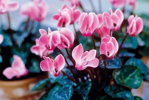 Plantas otoño: Ciclamen
