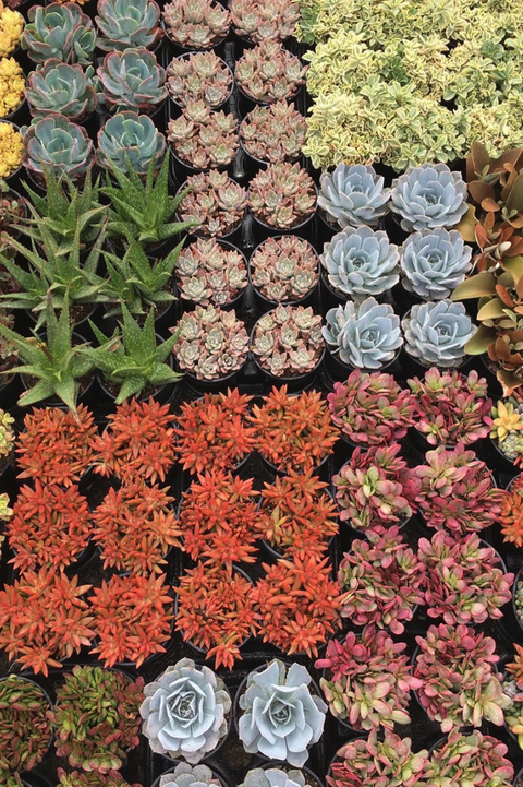 Rows of colorful succulents in pots