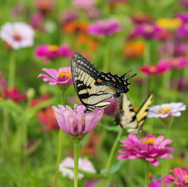 butterfly drinking from a pink flower
