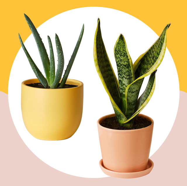 10 Best Indoor Plants For Your Home — Air-Purifying Plants Long Lasting House Plants on colorful house plants, non-toxic house plants, small house plants, soothing house plants, robust house plants, weather proof house plants, hypoallergenic house plants, fragrant house plants, lightweight house plants, compact house plants, organic house plants, portable house plants, rugged house plants, elegant house plants, night blooming house plants, refreshing house plants, cool looking house plants, inexpensive house plants, strong house plants, easy to maintain house plants,