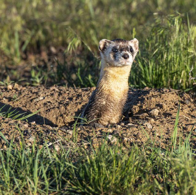 a black footed ferret at a prairie dog burrow