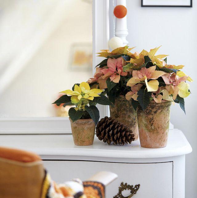 Plantas y Navidad: poinsetias