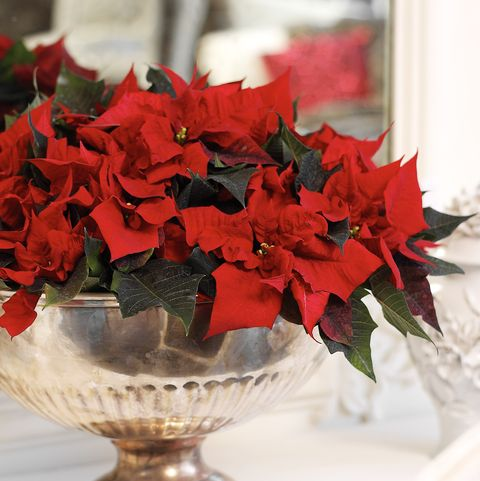 Poinsettias For Christmas 2021 Poinsettia Care Tips 13 Golden Rules For A Poinsettia Plant