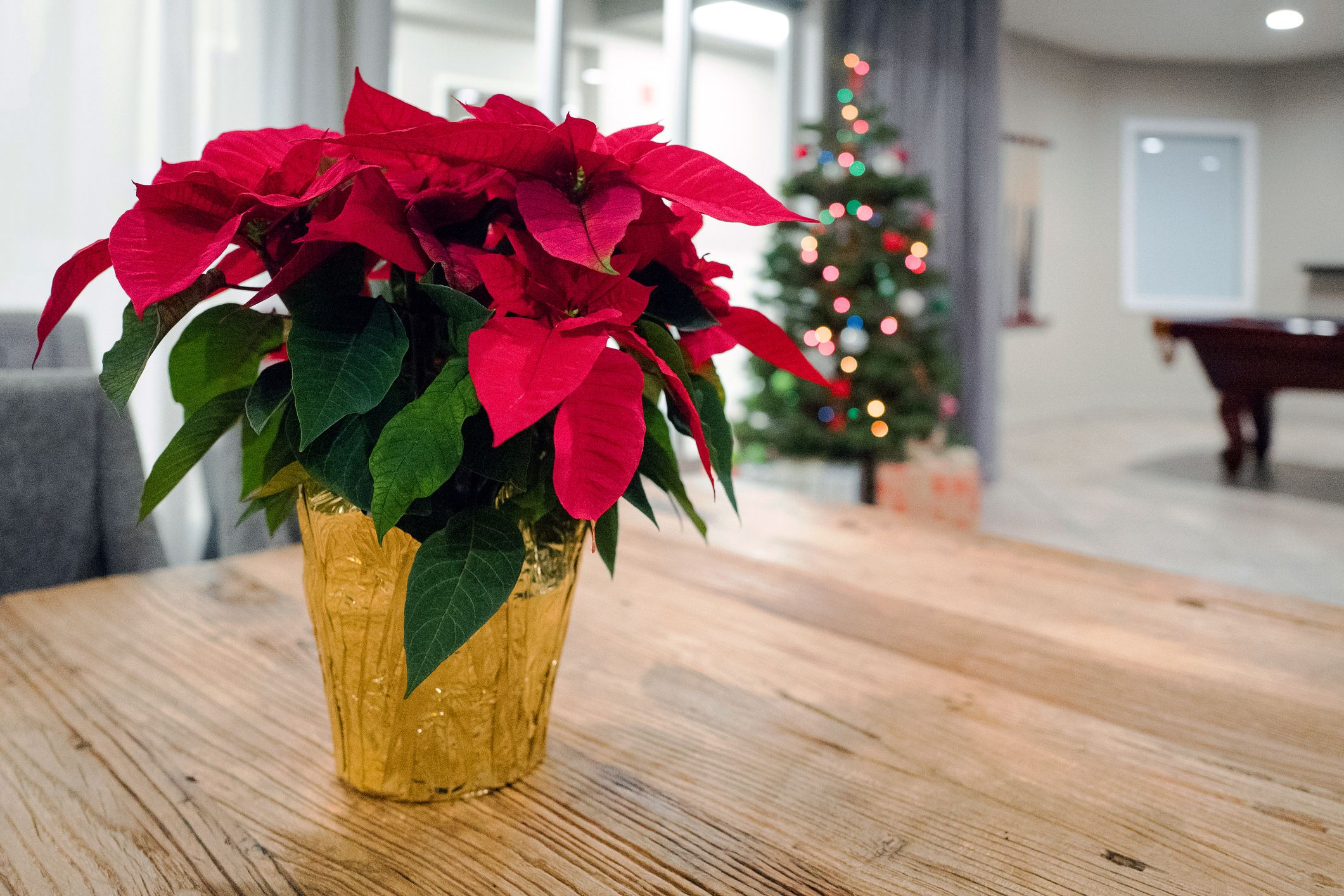 Poinsettia Care Tips For Long Lasting Poinsettias