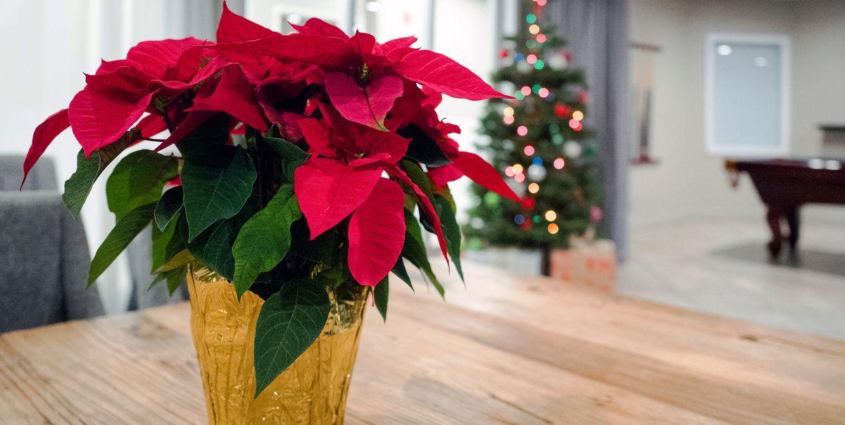 Poinsettias For Christmas 2021 Poinsettia Care Tips For Long Lasting Poinsettias