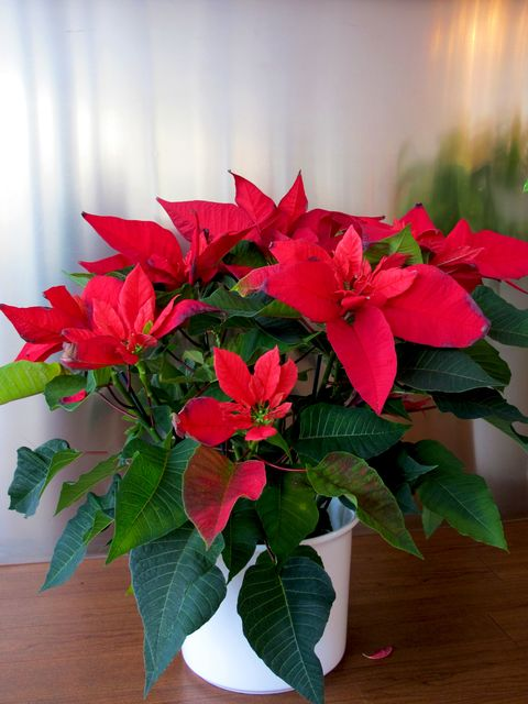 close up of a poinsettia flower in pot