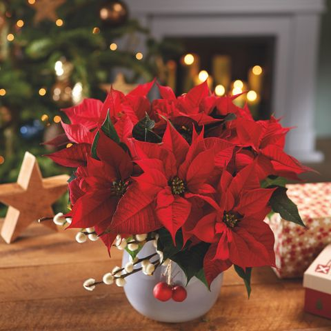Image result for poinsettias