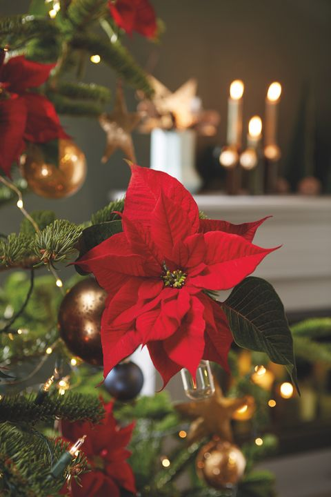 My Christmas Tree Isn T Drinking Water.Poinsettia Care Tips 9 Golden Rules For A Poinsettia Plant