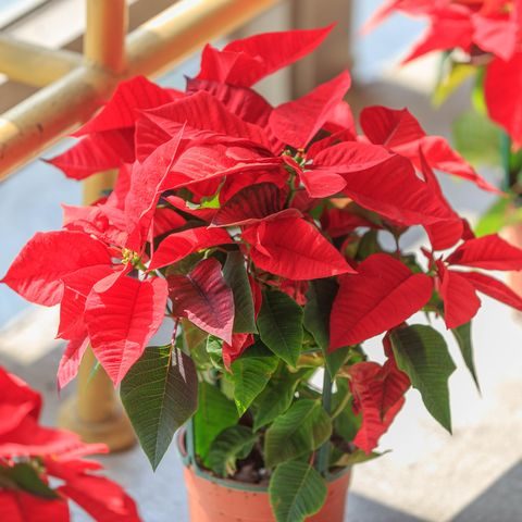 Poinsettia (Common Poinsettia ; X'mas Flower)