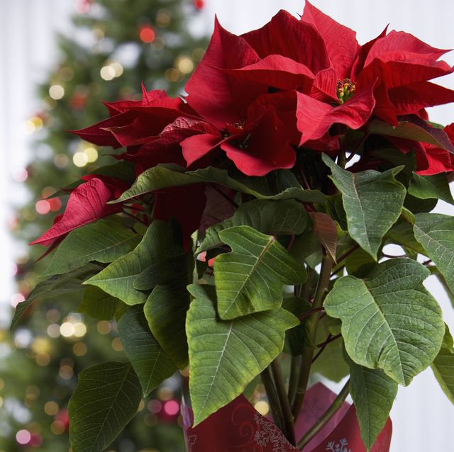 10 of the most popular christmas plants to buy ahead of the festive season
