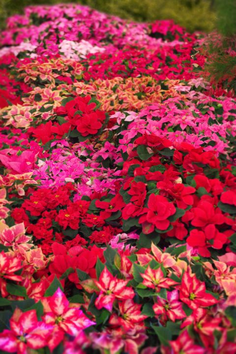 Poinsettia Care Tips 13 Golden Rules For A Poinsettia Plant