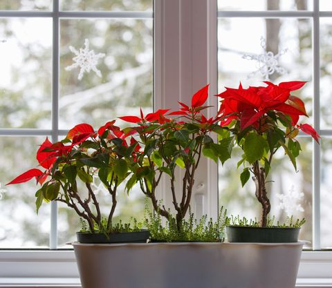 Poinsettia Care Tips 13 Golden Rules For A Poinsettia Plant