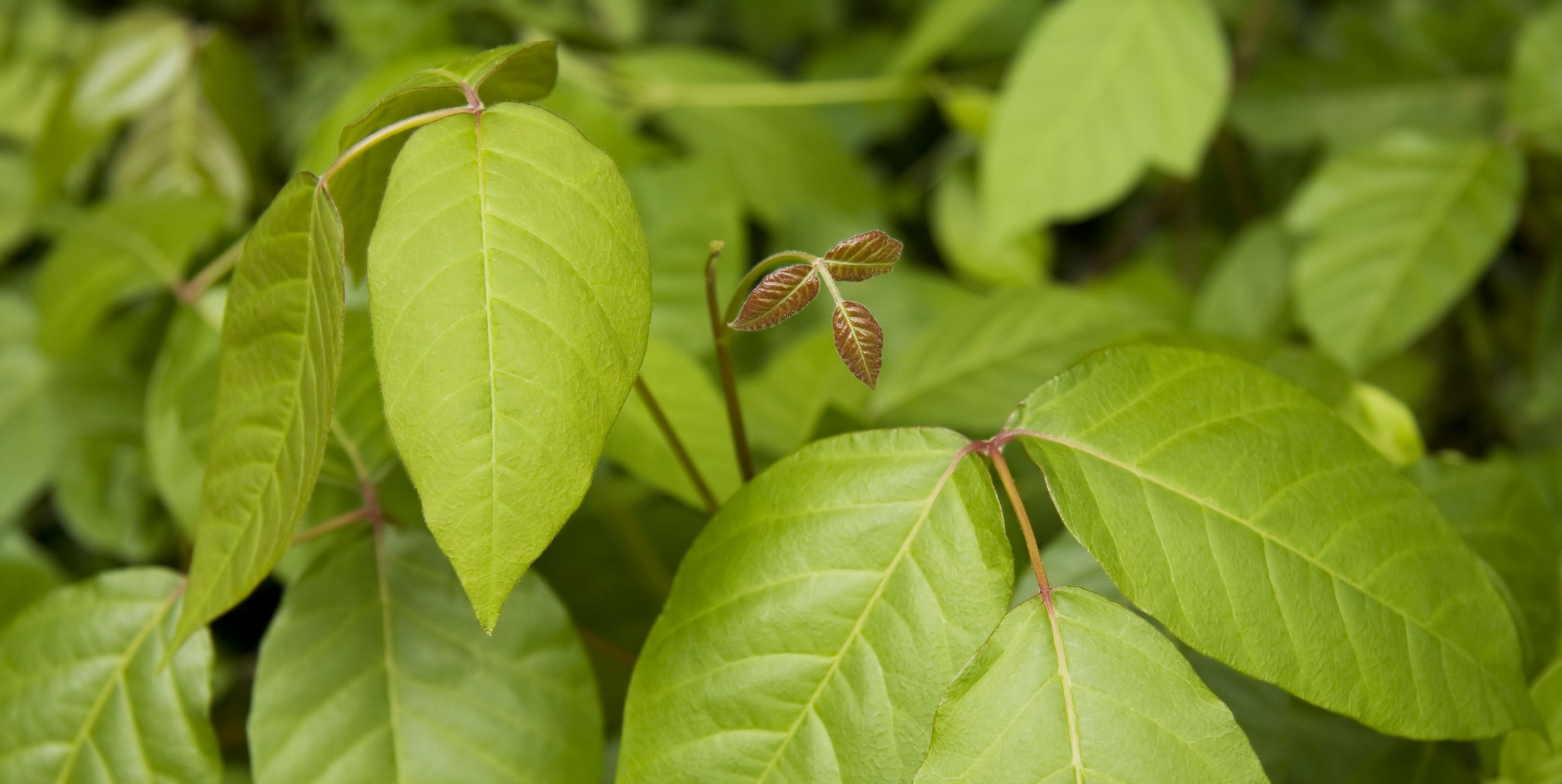 how to get rid of poison ivy or oak