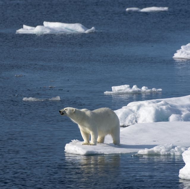A polar bear (Ursus maritimus) is looking for food at the...