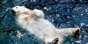TOPSHOT-GERMANY-EUROPE-WEATHER-HEAT-ANIMAL-POLAR-BEAR
