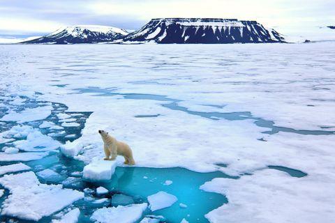 Polar bear on pack ice