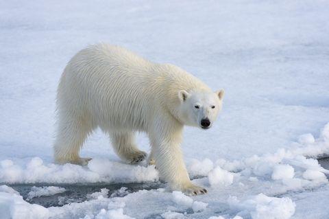 A polar bear (Ursus maritimus) on the pack ice north of...