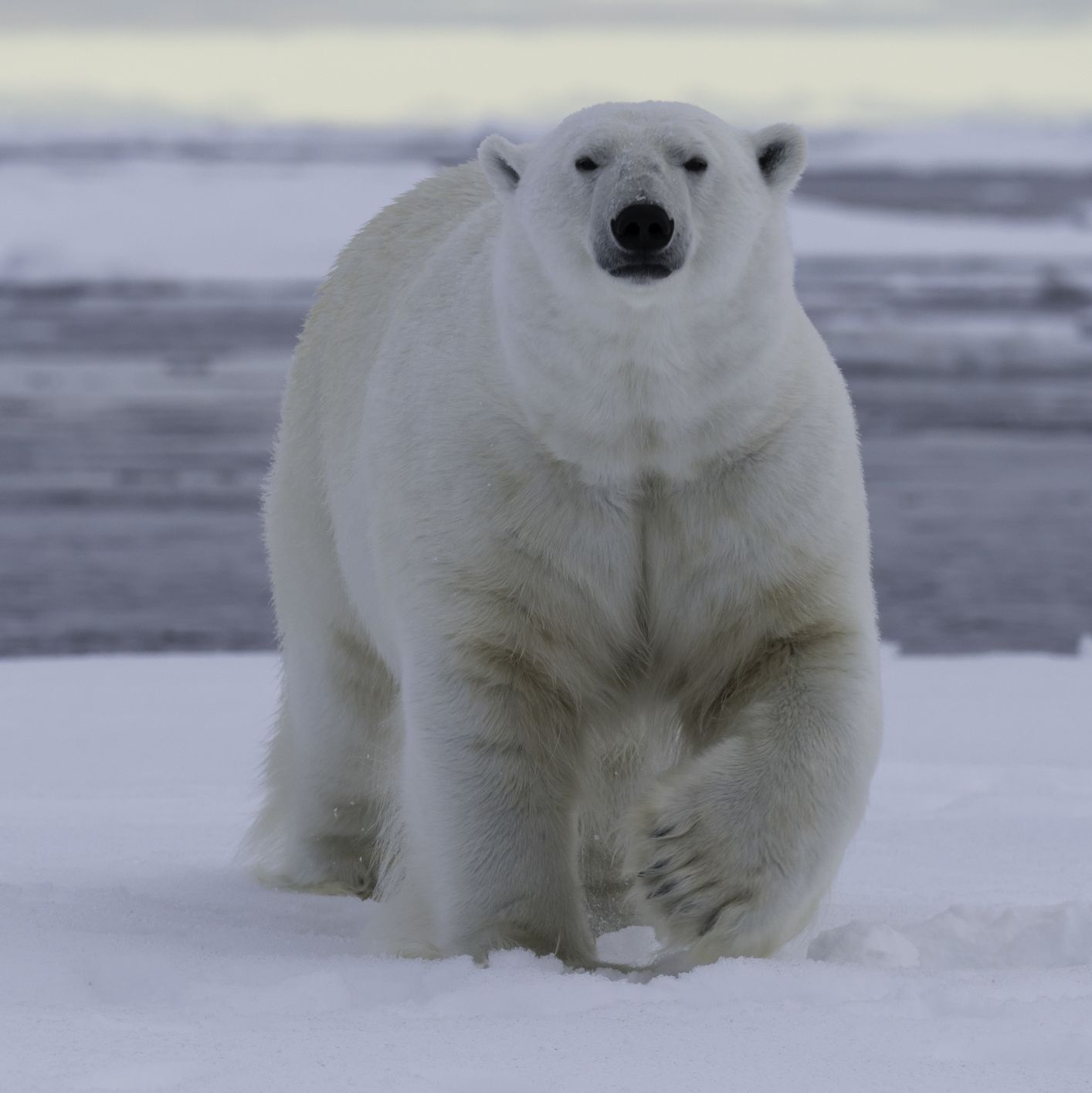 Polar Bear Walking on Snow Ice Water