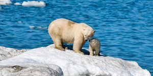 Polar bears on Wrangel Island