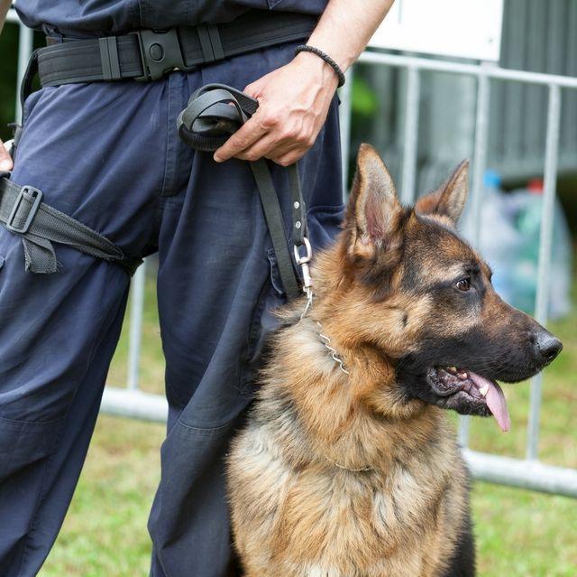 police dog policeman with a german shepherd on duty