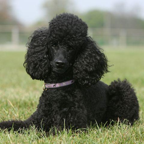 Poodle (Canis lupus familiaris)