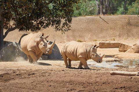 san diego zoo white rhino