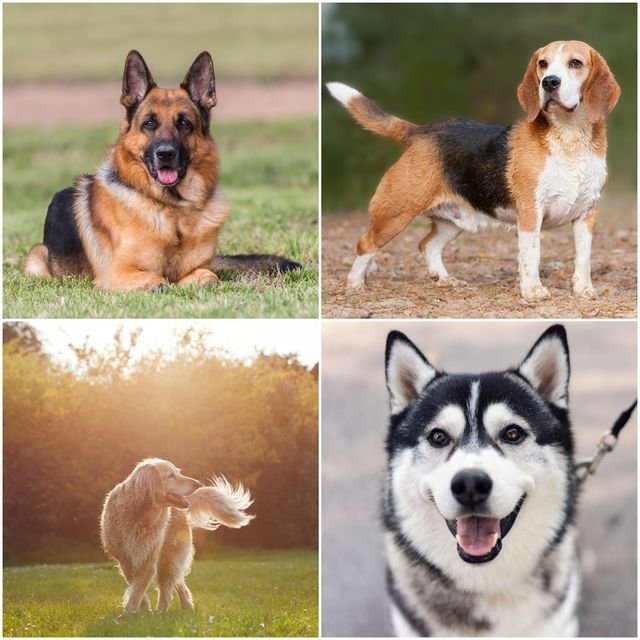 20 most popular dog breeds on tiktok