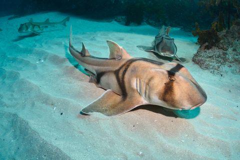 Port Jackson Sharks, New South Wales, Australia.