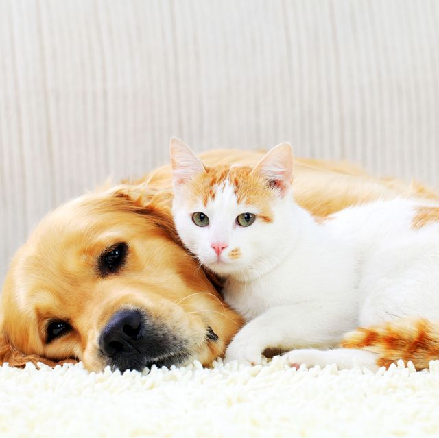 cute pets resting together friendship of a dog and cat
