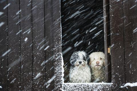 Portrait dogs watching snow from barn window