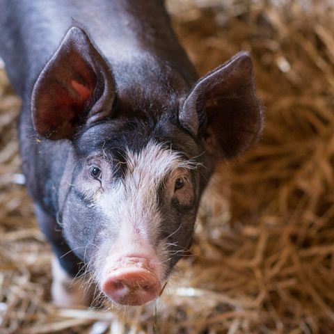 portrait of a curious pig in a barn