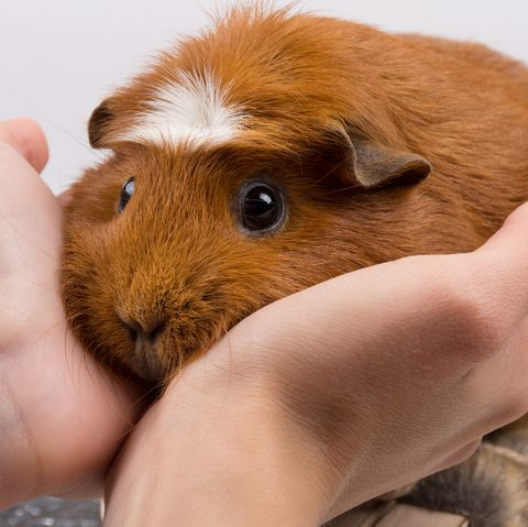 Portrait of a funny guinea pig in human hands