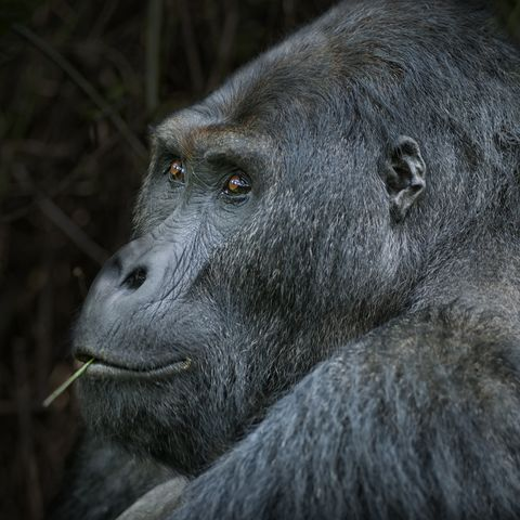 Portrait of a Silverback Eastern Lowland Gorilla, wildlife shot, Congo