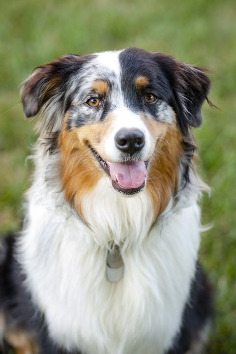 best guard dogs - Portrait of Australian Shepherd dog