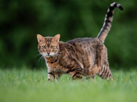 portrait, chat, debout, herbeux, champ