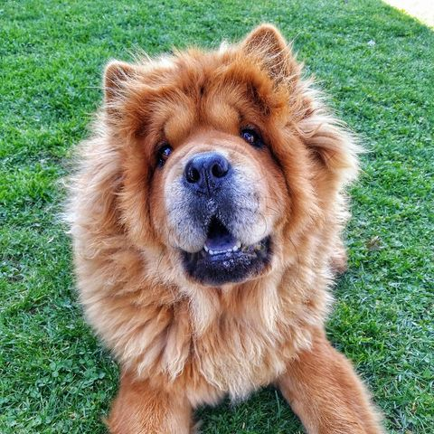 Portrait Of Chow Chow Dog On Grass At Park