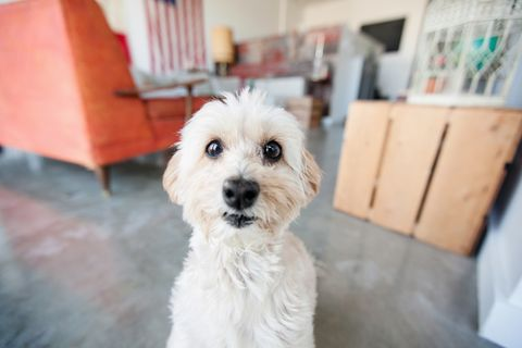 Portrait of cute staring dog in living room