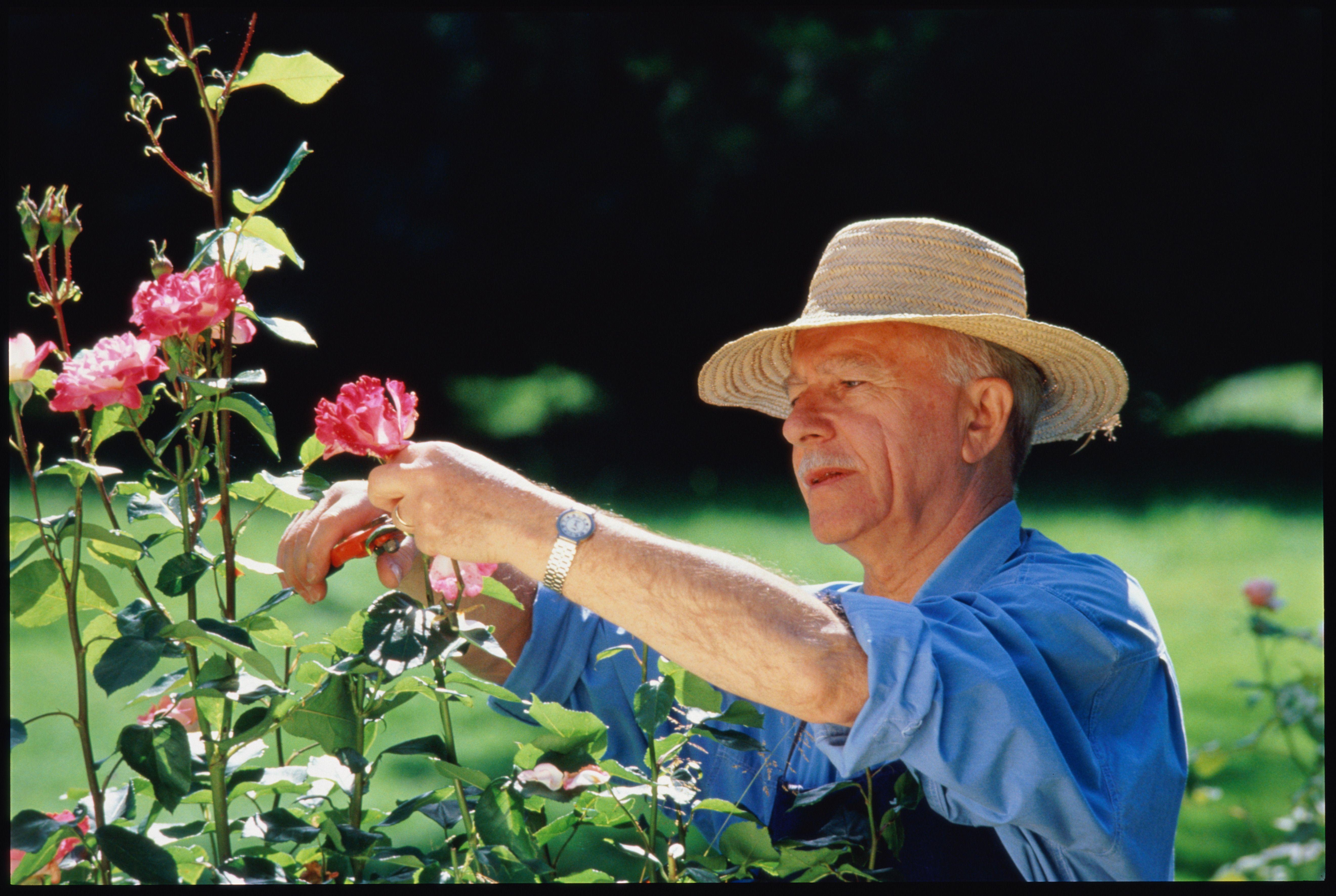 Portrait of elderly man in straw hat tending roses in garden