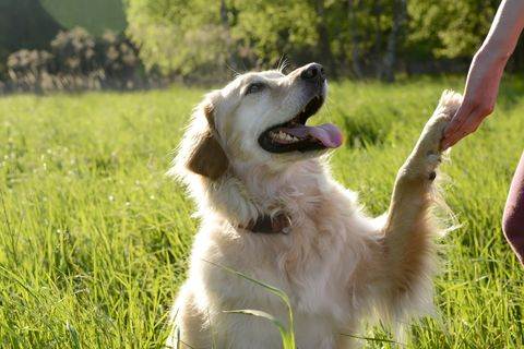 portrait of golden retriever giving paw
