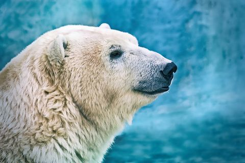 Portrait of large white bear. Male polar bear or ursus maritimus
