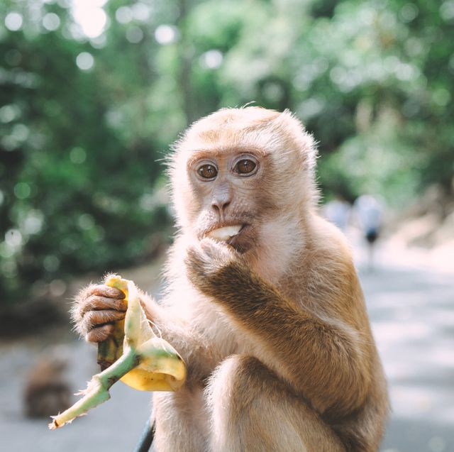 portrait of monkey close up monkey have a rest fooling around eating bananas thailand
