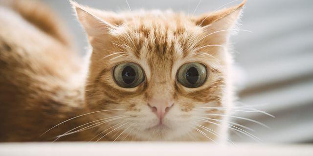 portrait of starring ginger cat