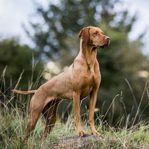 portrait of vizla dog standing on a meadow