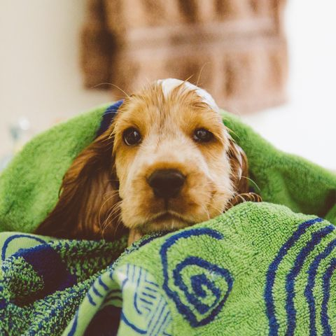 Portrait Of Wet Cocker Spaniel Covered With Towel At Home